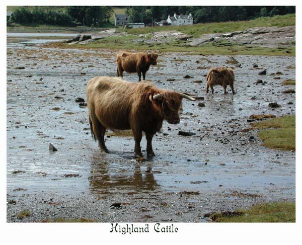 Muckle Coos (big cows!)
