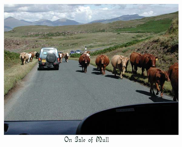 The cattle own the roads here
