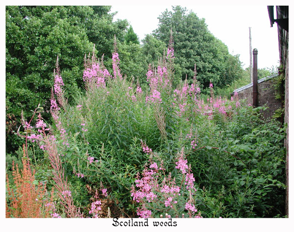 Rose Bay Willow Herb(Chamerion angustifolium) grows wild along roads and in fields.